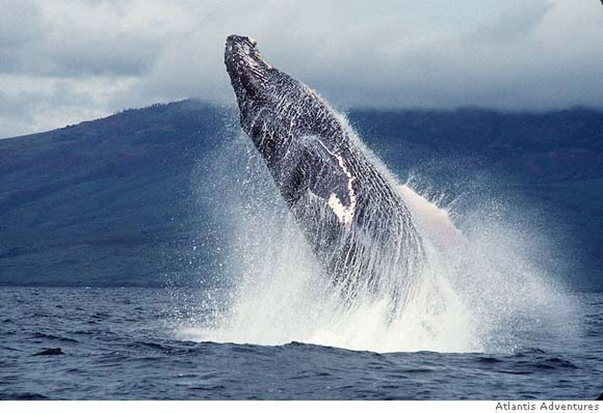 �Whales are a common sight in Hawaiian waters in winter. Credit: Courtesy Atlantis Adventures