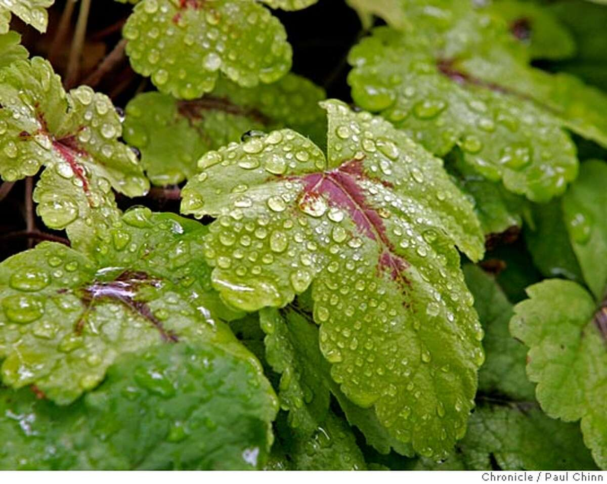 Drops of water cling to the leaves of a sunspot heucherella. The Potomac Waterworks backyard garden at the home of landscape architect Paul Cowley and his wife Robin on 6/24/05 in Oakland, Calif. The garden features fountains, a pond and two streams. PAUL CHINN/The Chronicle