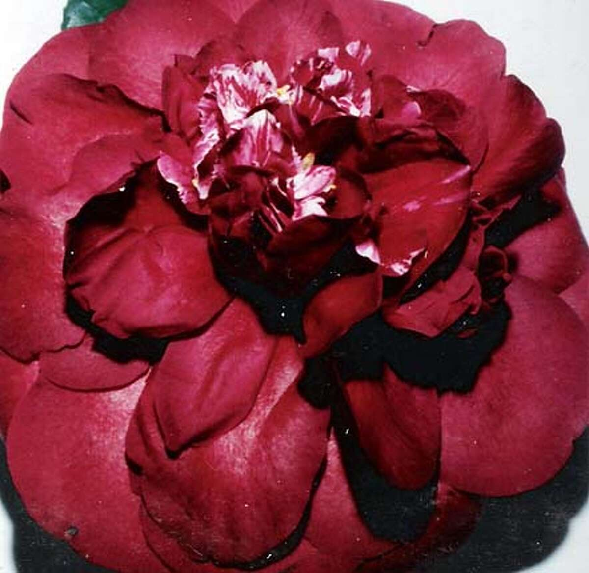 �Cherries Jubilee� is a japonica camellia that will be included in plants for sale at the Camellia Show in San Francisco.