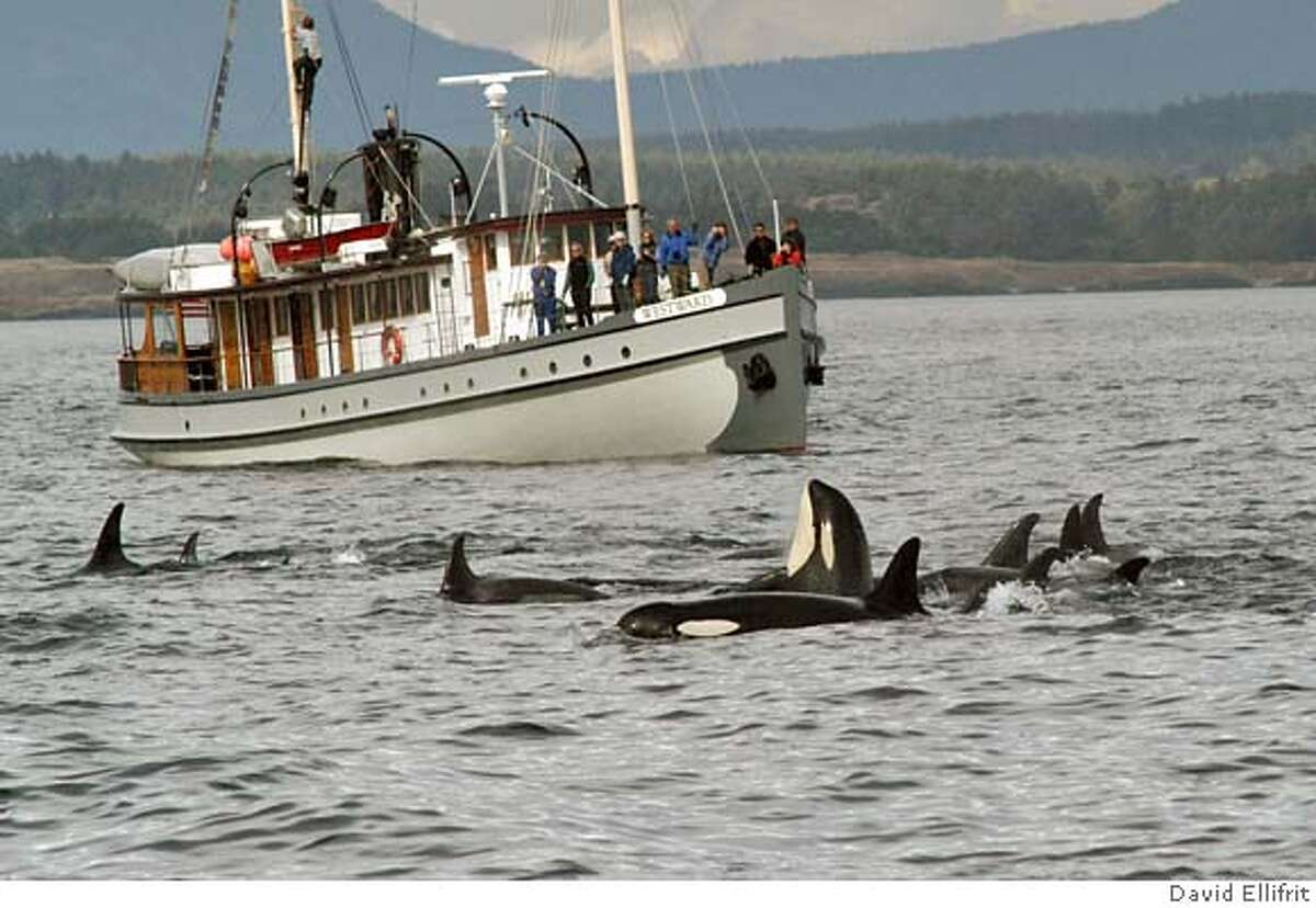 ** ADVANCE WEEKEND APRIL 15-16 ** This undated image provided by the Center for Whale Research shows a whale-watching boat passing a pod of orca in Puget Sound, Wash. Fifty years ago, fishermen were still shooting at these Northwest killer whales they felt were eating too many salmon. Now orcas _ which can grow 32 feet long, as big as a bus _ are prime examples of what researchers call