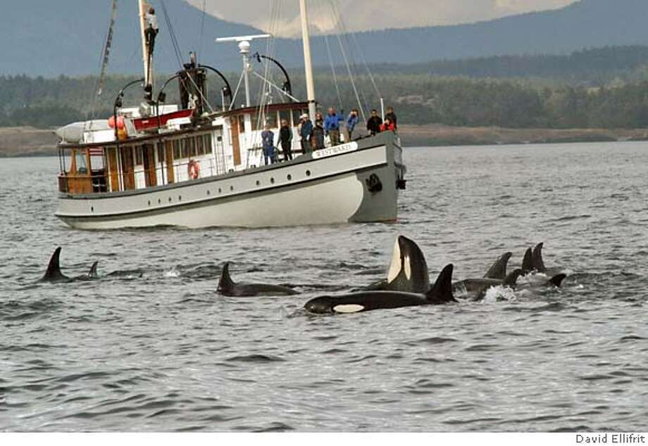 "** ADVANCE WEEKEND APRIL 15-16 ** This undated image provided by the Center for Whale Research shows a whale-watching boat passing a pod of orca in Puget Sound, Wash. Fifty years ago, fishermen were still shooting at these Northwest killer whales they felt were eating too many salmon. Now orcas _ which can grow 32 feet long, as big as a bus _ are prime examples of what researchers call ""charismatic megafauna,"" big critters with a passionate human following.(AP Photo/Center for Whale Research, David Ellifrit) Ran on: 04-16-2006  A whale-watching boat passes a pod of orcas in Puget Sound, Wash. Fifty years ago, fishermen were still shooting at these Northwest killer whales that they felt were eating too many salmon.  Ran on: 07-23-2006  A pod of orca is watched by whale fans aboard a tour boat in Puget Sound. The once-abundant orca population in the sound today is struggling. ADV APRIL 15-16 ONLINE OUT Photo: DAVID ELLIFRIT"