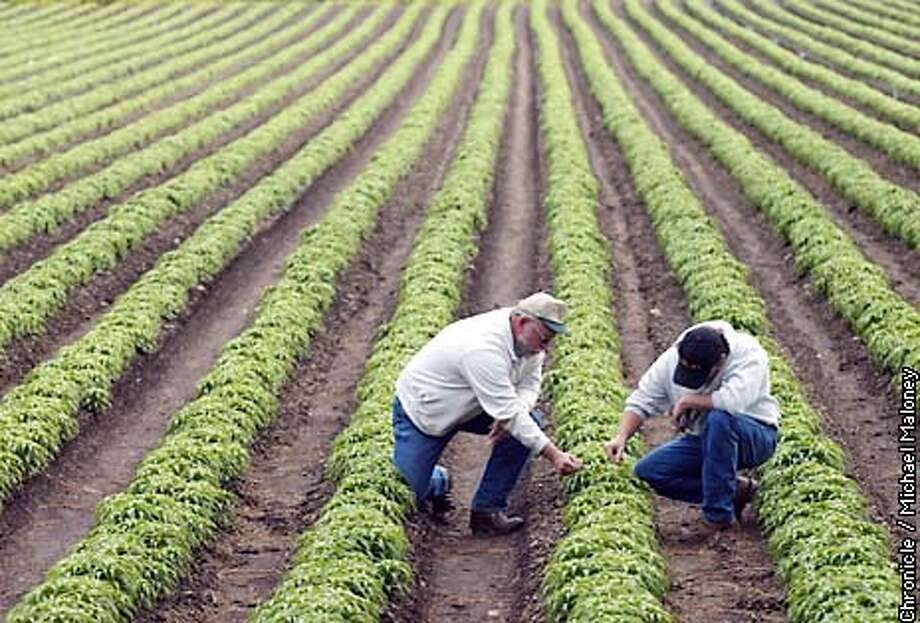 John Westbrook and his son Matt Westbrook check out the Easter Lily plants on their property. The bulbs were planted last fall and will bloom in July.  Northern California's Smith River watershed holds the title of Easter Lily Capital of the World but it comes at an environmental cost. The bulb cultivation takes fungicides and pesticides to protect the lily bulbs through the wet winter. These chemicals find their way into the Smith River drainage, which holds a diverse range of plants and wildlife.  CHRONICLE PHOTO BY MICHAEL MALONEY Photo: MICHAEL MALONEY