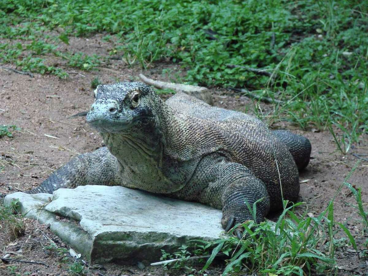 Scatha is a Komodo dragon at the San Antonio Zoo.