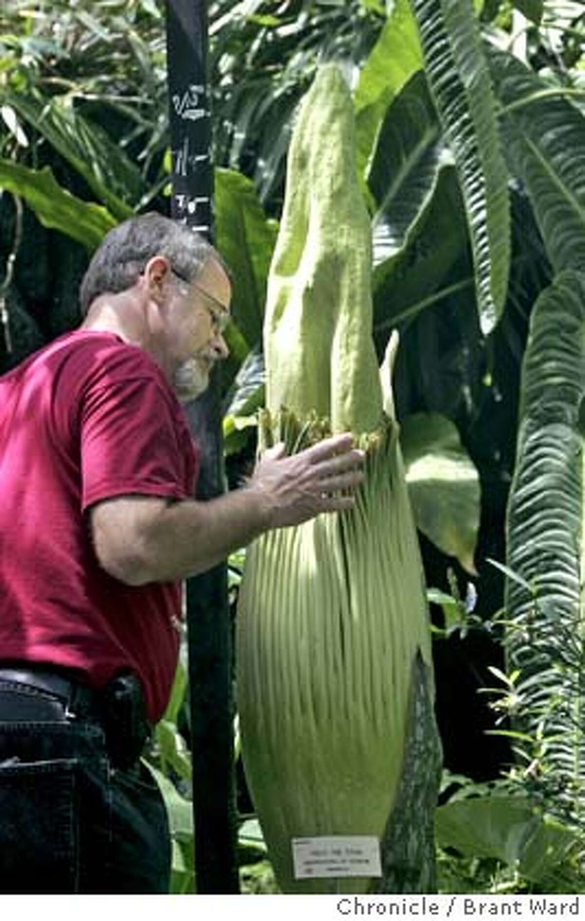 nevius12773_ward.jpg Bill Weaver of Sunnyvale, who owns Trudy the Titan, took a close look at her growth in the last day at the UC Botanical garden Monday. Trudy could bloom any day into the size of a punch bowl with a most horrible smell, like rotting flesh. Brant Ward 7/12/05