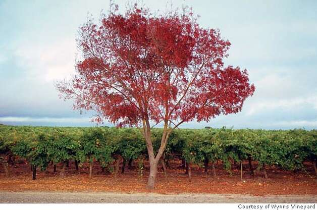Wynns Coonawara Cabernet Vineyard, Australia. Terra rossa soil. Credit: Courtesy of Wynns Vineyard Photo: Courtesy Of Wynns Vineyard