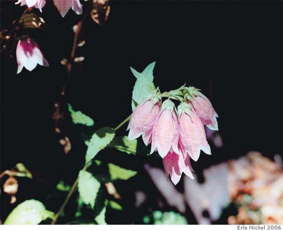 Campanula punctatagrow rosebell- to tubular-shaped flowers.