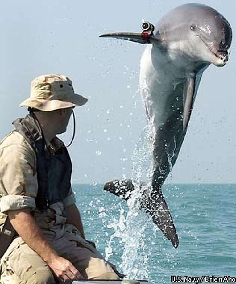 In this handout photo from the U.S. Navy, Sergeant Andrew Garrett watches K-Dog, a bottle nose dolphin attached to Commander Task Unit 55.4.3 leaps out of the water while training near the USS Gunston Hall in the Persian Gulf on March 18, 2003. Commander Task Unit 55.4.3 is a multinational team from the United States, Great Britain and Australia conducting deep/shallow water mine clearing operations to clear shipping lanes for humanitarian relief and are currently conducting missions in support of Operation Iraqi Freedom. (AP Photo/ U.S. Navy / Brien Aho, HO) Photo: BRIEN AHO
