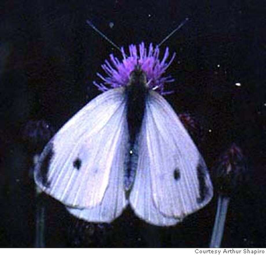Finding the first cabbage white butterfly of the year caught outdoors in Yolo, Solano or Sacramento counties will win you a pitcher of beer with UC Davis' Arthur Shapiro. Photo courtesy of Arthur Shapiro