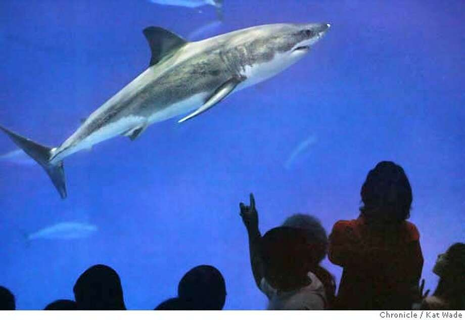 SHARKXX_0074_KW_.jpg  The Monterey Bay Aquarium displays its new White Shark, Carcharodon carcharias, commonly known as a Great White Shark on Thursday October 5, 2006 in their million-gallon Outer Bay exhibit. The new male shark arrived August 31, 2006 and was 5 feet 8 inches long and weighed 104 pounds. The common belief by experts is that White Sharks normal maximum size is 20-feet and 4,200-pounds. Kat Wade/The Chronicle Mandatory Credit for San Francisco Chronicle and photographer, Kat Wade, Mags out Photo: Kat Wade