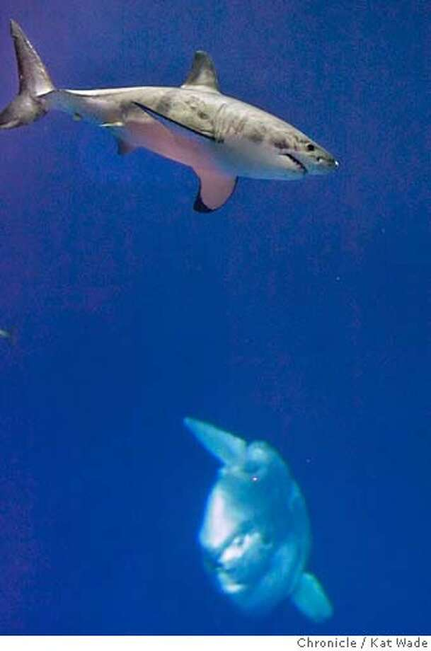 Monterey Aquarium's great white shark released at sea - SFGate