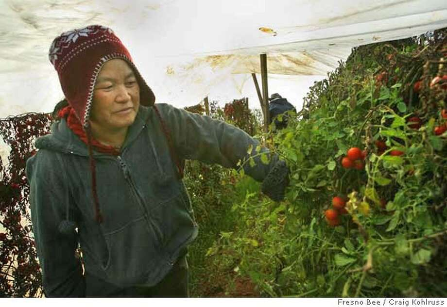 FRESNO, CA 1/11/07 MTD CEK HARD FREEZE  Ying Lee Vang looks over her cherry tomatoes covered by a large plastic tarp in the garden she farms with her husband Bentley Yang near McCall Avenue and Kings Canyon Highway Thursday, January 11, 2007. They Vangs are confident their plastic cover will allow them to keep their tomatoes and other crops producing even during the hard freeze expected overnight.  CRAIG KOHLRUSS/THE FRESNO BEE 11207x Photo: CRAIG KOHLRUSS