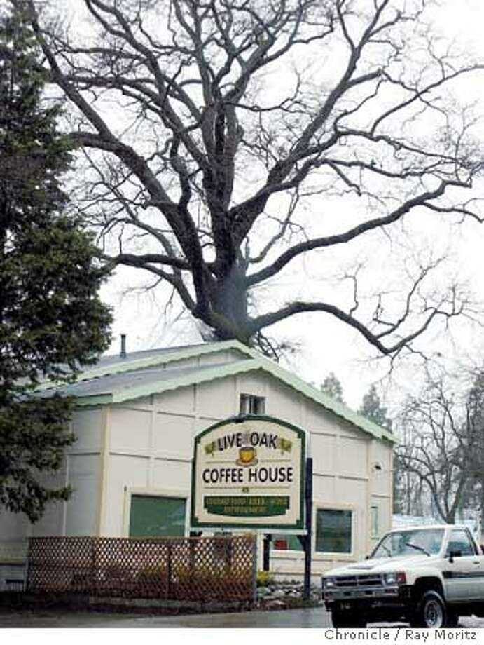 Never build around a tree unless a qualified consulting arborist or urban forester tells you there is a very high probability the tree will survive. Here The Live Oak Coffee Shop could wind up being called The Dead Oak Cafe. Photo by Ray Moritz, special to the Chronicle