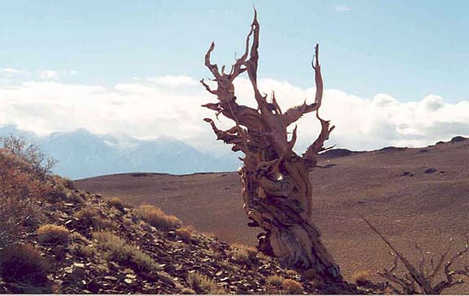Bristlecone pine in the Ancient Bristlecone Pine Forest, inside the Inyo National Forest, near Bishop, CA. Photo credit: USDA Forest Service.