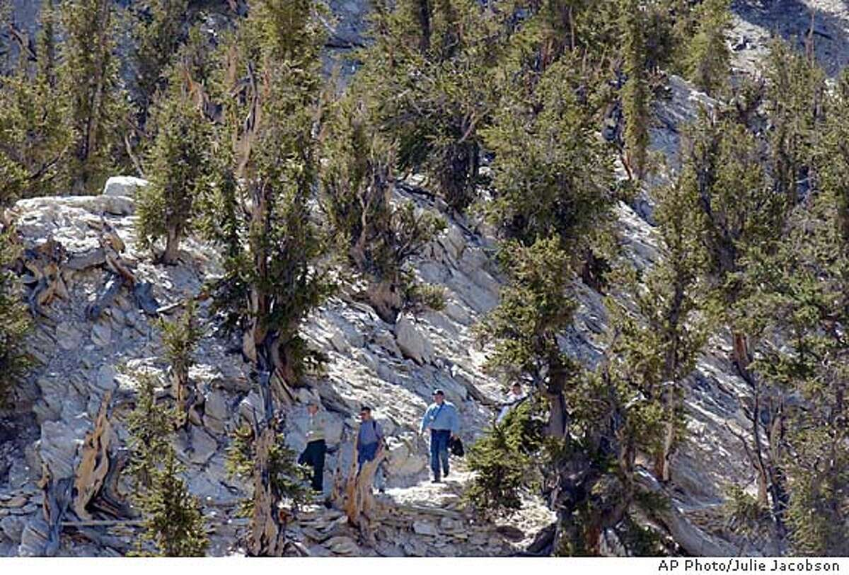 Surrounded by rock and bristlecone pines, bristlecone pine forest manager John Trees Louth, far left, leads Champion Tree Project field researchers Jamison Milarch, second from left, project co-founder Jared Milarch and Josh Carpenter, far right, along the Methuselah Walk trail to a 4,700-year-old tree, the oldest living documented tree in the world Tuesday, Oct. 8, 2002, in the Inyo National Forest near Bishop, Calif. The group took cuttings from the tree named ``Methuselah,'' as well as pine cones which will be used to clone the trees. (AP Photo/Julie Jacobson)
