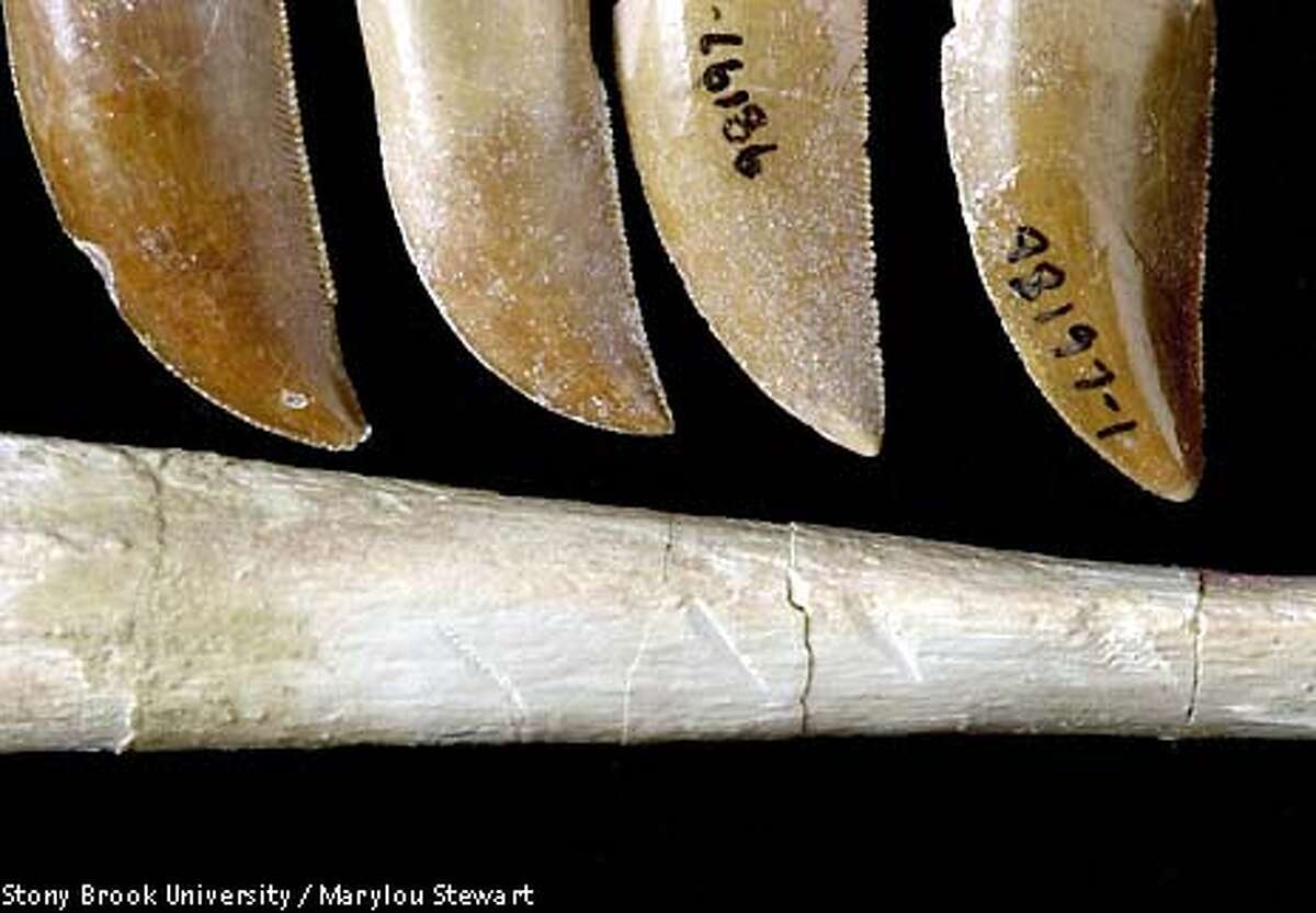 ** EMBARGOED FOR RELEASE WEDNESDAY, APRIL 2, 2003 AT 1 P.M . EST ** Four teeth and a tooth-marked bone of Majungatholus atopus are seen in this undated handout photo. Numerous bones of Majungatholus show indication of intense feeding, as indicated by tooth marks. The size and spacing of the tooth marks indicate infliction by Majungatholus. The small grooves that accompany the tooth marks, which reflect the small serrations on the carnivore's teeth, also point to Majungatholus. (AP Stony Brook University / Marylou Stewart, Stony Brook University)