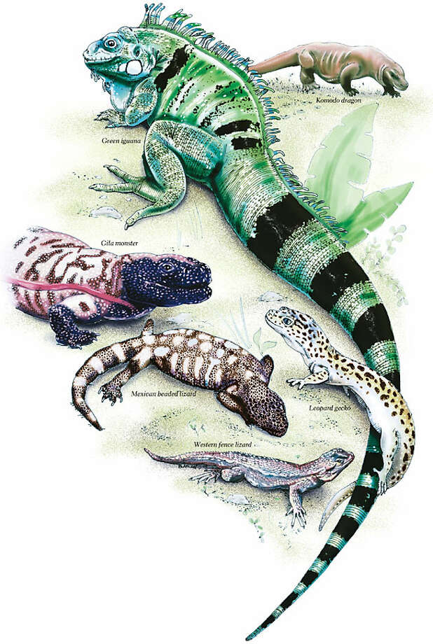 Lizards. Chronicle illustrations by John Blanchard
