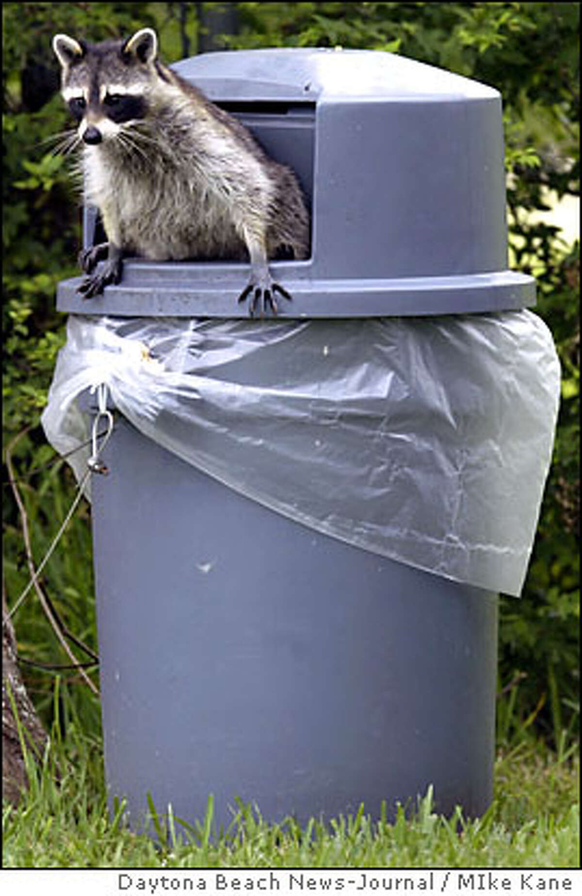In this file photo a nervous racoon checks its surroundings before ducking back nto a trash can.
