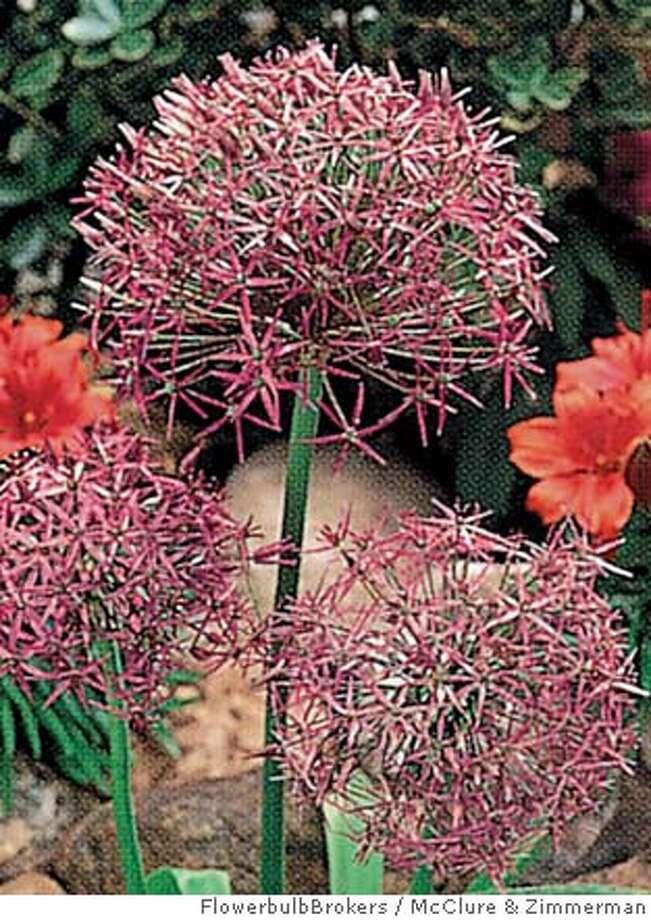 Allium christophii produces amethyst spheres. Photo by McClure & Zimmerman Flowerbulb Brokers