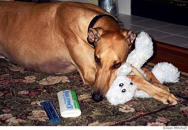 Photo of Elvis with his favorite stuffed squeaky toy. Credit: Eileen Mitchell Photo: Eileen Mitchell