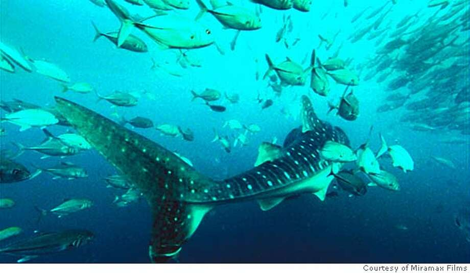 Whale Sharks feeds on Sardines in DEEP BLUE. Photo courtesy of Miramax Films. Datebook#Datebook#Chronicle#6/17/2005#ALL#5star##0423005463