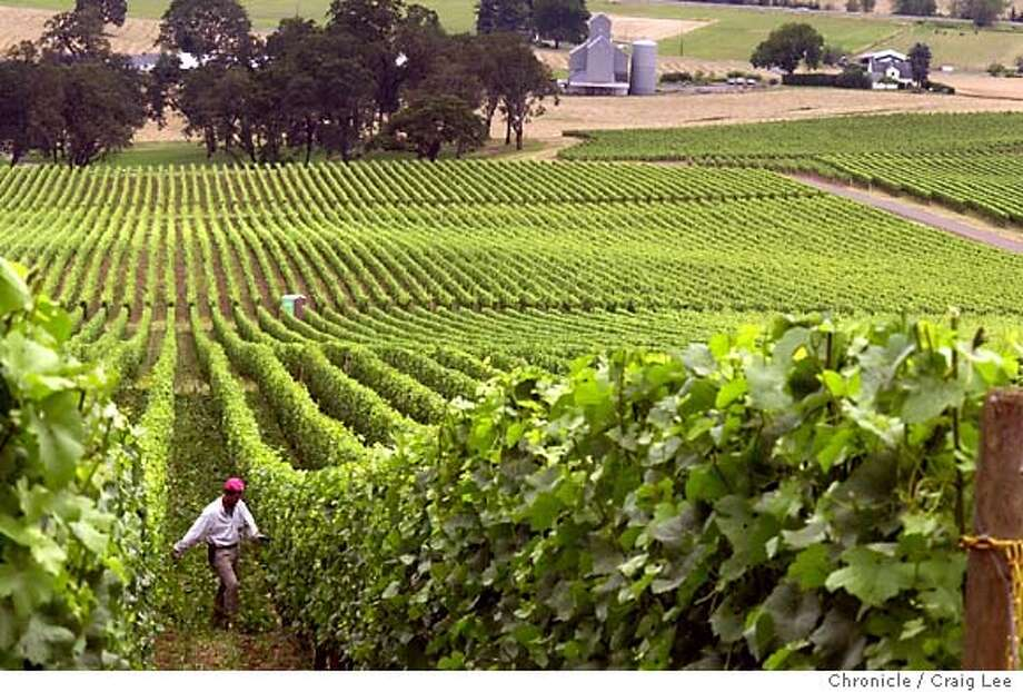 """Oregon's Willamette Valley wine country and personalities to illustrate a Pinot Noir story. Vineyard photo of the """"Red Hills of Dundee,"""" where iron-rich soils are. Rollin Soles manages most of these """"Red Hills of Dundee."""" A vineyard worker does some leaf pulling in the photo. CRAIG LEE / The Chronicle Photo: CRAIG LEE"""