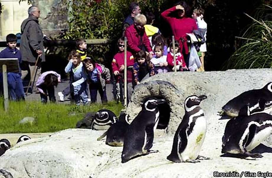 Visitors get a glance as the Penguins at the San Francisco Zoo returned to their burrows after a season of swimming. Photo by Gina Gayle/The SF Chronicle. Photo: Gina Gayle