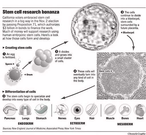 newspaper articles stem cell research