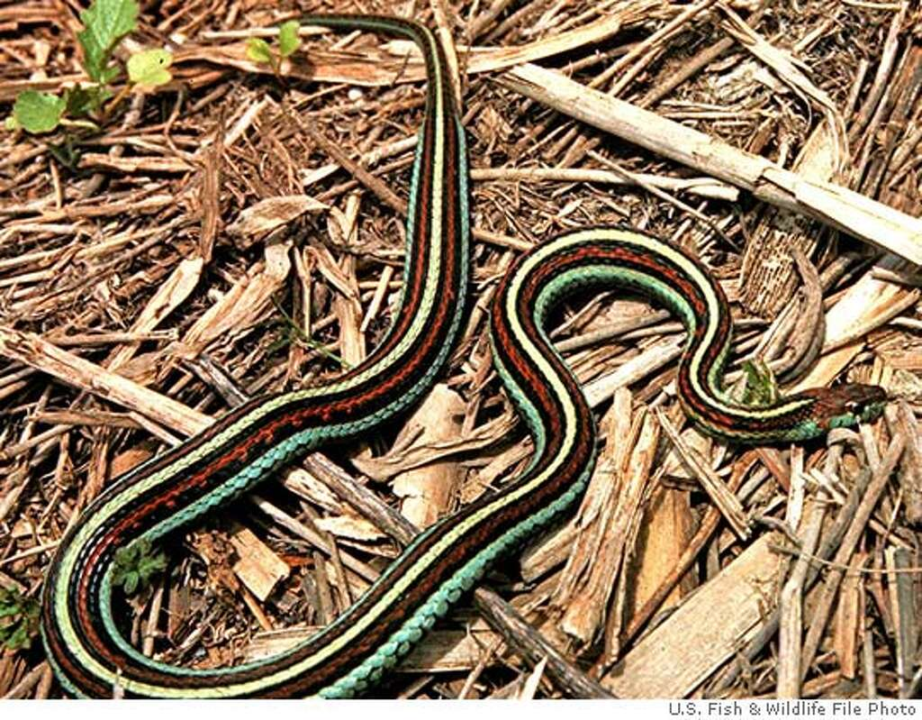 san francisco city welcomes home its snake big celebration at