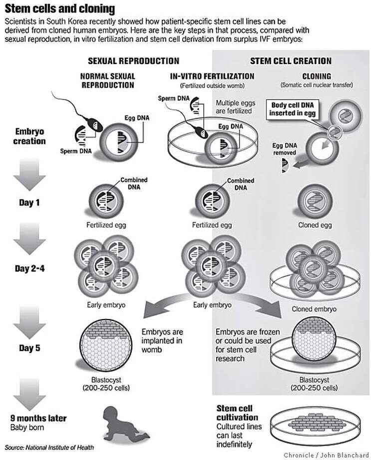 Stem cells and cloning. Chronicle graphic by John Blanchard