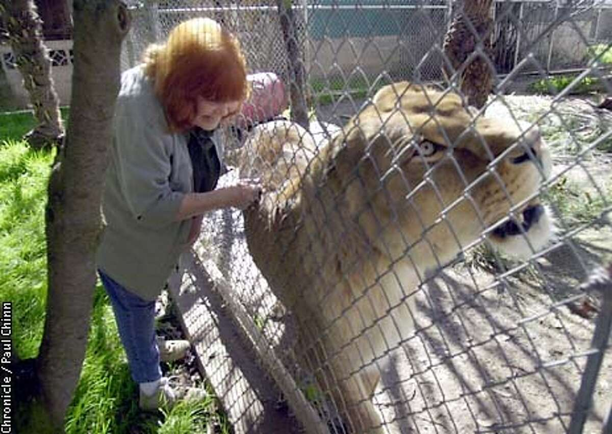 Pat Derby pets Sheba through a fence. Sheba is a lion who was rescued from the basement of a Detroit crack house. Derby operates the PAWS animal sanctuary in Galt, twenty miles south of Sacramento. PAUL CHINN/SF CHRONICLE