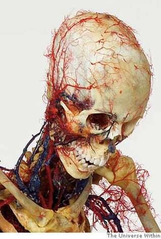 Skeleton with additional vascular system in reading position II.jpg HO from The Universe Within