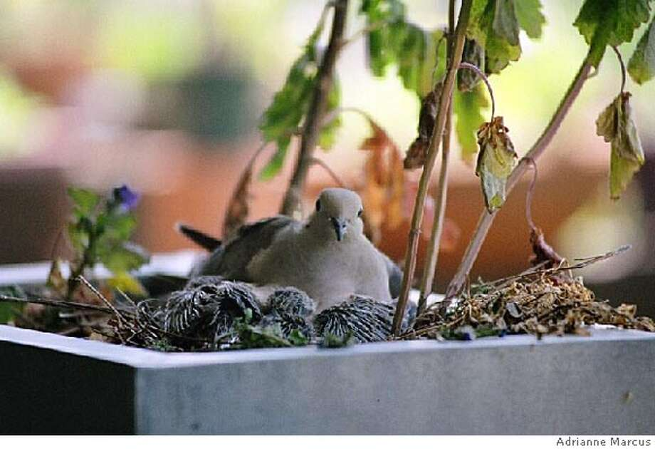 mourning21_ph2.JPG Mourning dove and chic in pewter planter. Photo Credit: Adrianne Marcus Photo: Photo Credit: