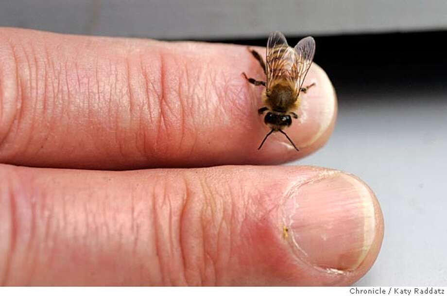 """Tom Chester of San Francisco is a beekeeper in San Francisco. He is showing off one of the bees in a swarm he's just captured. Tom greets his bees with, """"Hello girls!"""" each time he opens a hive. Photo taken on 4/24/05, in SAN FRANCISCO, CA.  By Katy Raddatz / The San Francisco Chronicle Photo: Katy Raddatz"""