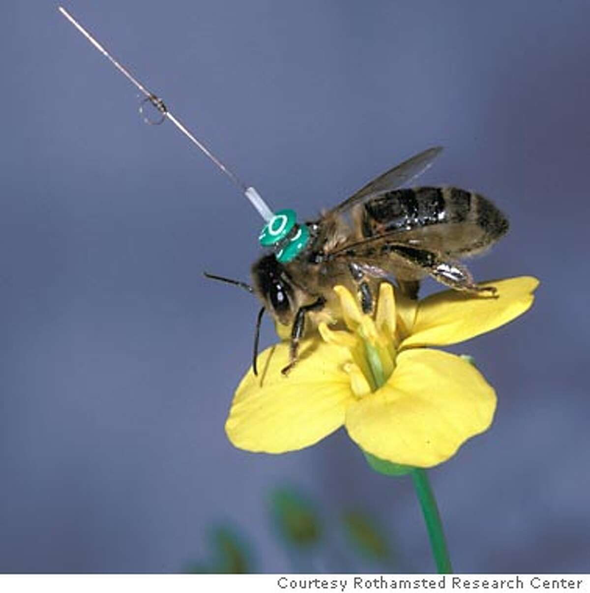 """Joseph R. Riley of Britain's Rothamsted Research Center in rural Hertfordshire, together with Uwe Greggers of Berlin's Free University and other colleagues are investigating the meaning of the honeybee """"waggle"""" dance by attaching tiny transponders to bees' backs. Photo special to the Chronicle"""