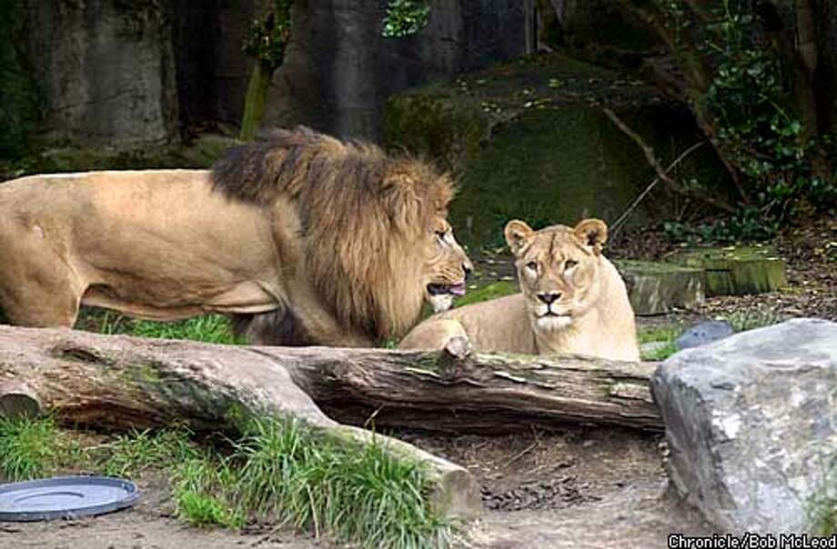 LION-C-29NOV02-MT-BM Tunya, the male lion at the SF Zoo is going in for surgery for his bad back. here he is with the two Lionesses at the zoo. pre surgery. chronicle photo by bob mcleod