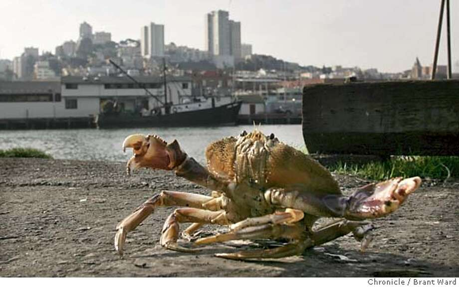 crab063_ward.jpg On Pier 45 one fisherman, not on a crab boat, caught a Dungeness crab (chk spelling) and let it run around on the wharf before throwing it back in the bay.  The opening of the crab season in Northern California begins Monday...on Sunday crab fishermen loaded their boats with crab pots and headed outside the Golden Gate bridge to set them. These scenes are around Pier 45 where commercial fisherman were busy all day.  11/15/04 Brant Ward Metro#Metro#Chronicle#11/15/2004#ALL#5star##0422466819 Photo: Brant Ward