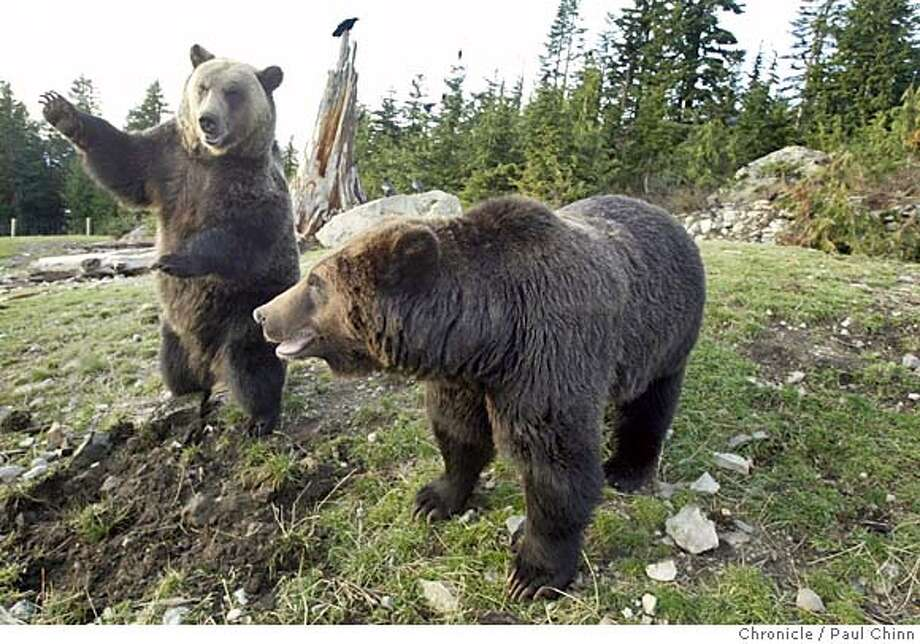 bearsgrouse_117_pc.jpg Grinder (left) and Coola have thrived on Grouse Mountain since arriving as orphaned cubs four years ago. Grizzly bears Coola and Grinder at Grouse Mountain Refuge for Endangered Wildlife on 11/9/04 in Vancouver, BC. PAUL CHINN/The Chronicle MANDATORY CREDIT FOR PHOTOG AND S.F. CHRONICLE/ - MAGS OUT #MainNews#Chronicle#11/15/2004####0422463848 Photo: PAUL CHINN