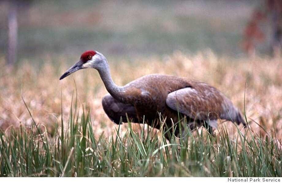 Photo of a Sandhill crane. Credit: National Park Service Photo: National Park Service