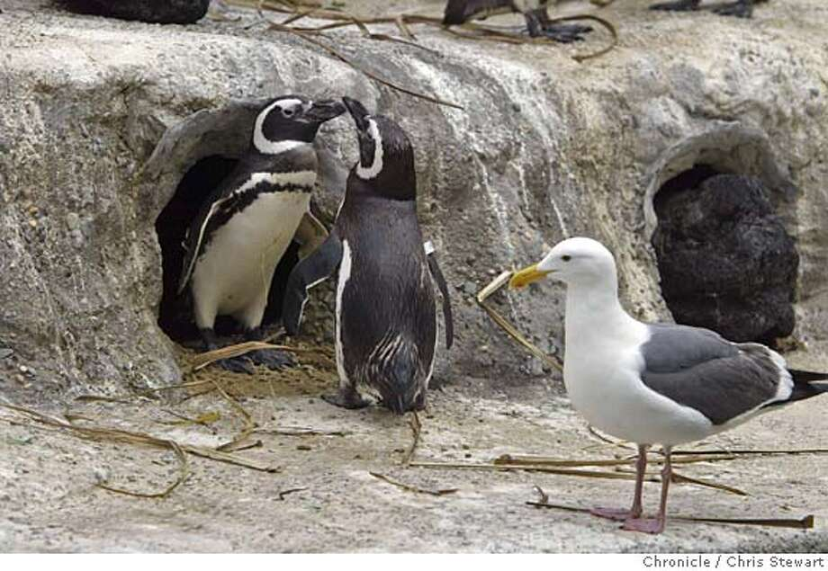 Event on 5/5/05 in San Francisco. A chylamida outbreak among the Megellanic penguins at the San Francisco Zoo has killed 12 of the popular birds. The infection is thought to spread from the droppings of gulls. Chris Stewart / The Chronicle Photo: Chris Stewart