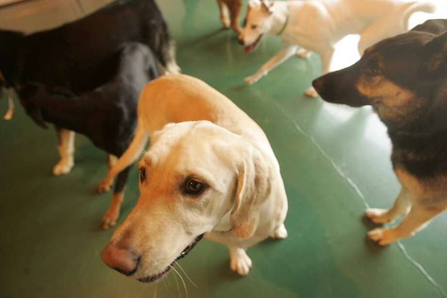 DogHotels12: Next month, Wag, a high-end ìdog hotelî will open its flagship palace in San Franciscoís South of Market district, making it the largest kennel in this dog-crazed town. Each of the 240 ìsuitesî at Wag will come fitted with heated floors, color televisions sets, and a Web cam so owners can log on and take a peek at their napping Fido. The weird part: The swanky digs for dogs, once considered an extravagance for the wealthy and mildly insane, is becoming the norm in the rapidly growing $4 billion-a-year kennel industry.    PetSmart, a national retailer for pet supplies, recently announced plans to open 200 ìdog hotelsî nationwide, and the California-based Wag has openings planned in Sunnyvale and Los Angeles in 2007.   NOTES TO PHOTOG:  1) The first Wag Hotel opened in Sacramento a few months ago. If you want to go up there for shots, contact manager Marijah Russell at 916. 373.0300. 2) A local dog hotelier appearing in the story is Jason Shine, co-owner of Fog City Lodge in the Bayview. His number is: 415-215-5558 3) The president of Wag Hotel, who also appears in the story, is Joel Leineke. His number is: 916.798.3099. Photo: Christina Koci Hernandez, The Chronicle