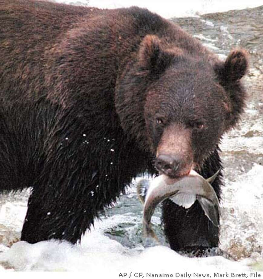 ** FILE ** A grizzly bear bites down on a salmon in British Columbia in Canada, in this undated file photo. Conservation groups want the U.S. government to ban American hunters from bringing grizzly bears killed in British Columbia back across the border as trophies. The groups contend the hunts, which are legal in British Columbia, threaten the long-term survival of the bears on both sides of the border. (AP Photo/CP, Nanaimo Daily News, Mark Brett, File) Grizzly bears are fair game in British Columbia, but conservation groups contend that hunting them threatens their survival. Grizzly bears are fair game in British Columbia, but conservation groups contend that hunting them threatens their survival. UNDATED FILE Nation#MainNews#Chronicle#11/7/2004#ALL#2star##0421773933 Photo: MARK BRETT