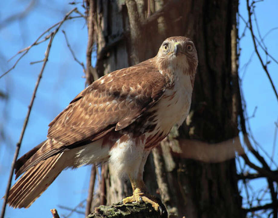 Police are looking for the nest of a red-tailed hawk that has been prowling the airspace at Fairfield Ludlowe High School and recently attacked a student. Photo: Contributed Photo / Fairfield Citizen