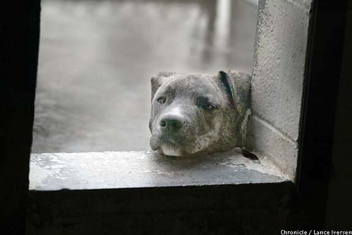 Feeling down: A pit bull mix hangs his head in his kennel at the Sacramento County Animal Shelter. Up to five dogs share a cage, the sick with the healthy. Last year, the shelter euthanized 11,470 dogs and cats. Chronicle photo by Lance Iversen