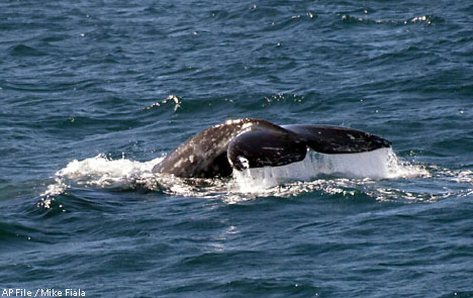 The planned experiment would have broadcast underwater sound to Pacific gray whales migrating off the California coast to Mexico. Associated Press file photo, 2002, by Mike Fiala