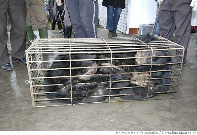 Saskia, a Moon Bear was confined in a tiny cage when it was rescued by Animals Asia Foundation? By Cornelius Maarselar/courtesy of Animals Asia Foundation Photo: Cornelius Maarselar/Special To T