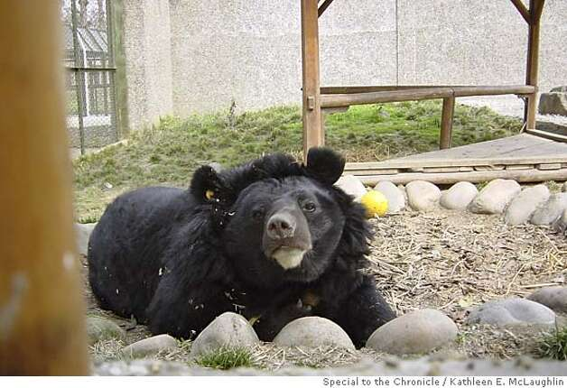 (rupertkm) Rupert is a large male Asiatic Black Bear (Moon Bear) who suffered brain damage from repeated infections related to the holes drilled into his body to tap bile from his gall bladder. He now spends his days lolling in the grass at the Chengdu rescue center. Photo by Kathleen E. McLaughlin /Special to the Chronicle Photo: Kathleen E. McLaughlin /Special