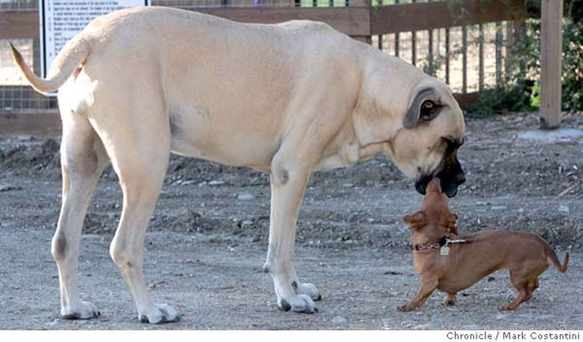 Two dogs of various sizes get to know each other before entering thier respective areas. When Spot, a 10-pound toy fox terrier, was killed by a much larger dog at Danville�s new $116,000 dog park in July, canine lovers lobbied Town Hall to create a dog park for small dogs so their Chihuahuas and toy terriers could romp in peace. They won, and last month the city opened a $60,000 park reserved just for canines 25 pounds and smaller. 10/27/04 in Danville. S.F. Chronicle photo by Mark Costantini. Metro#Metro#Chronicle#10/30/2004#ALL#5star##0422437810