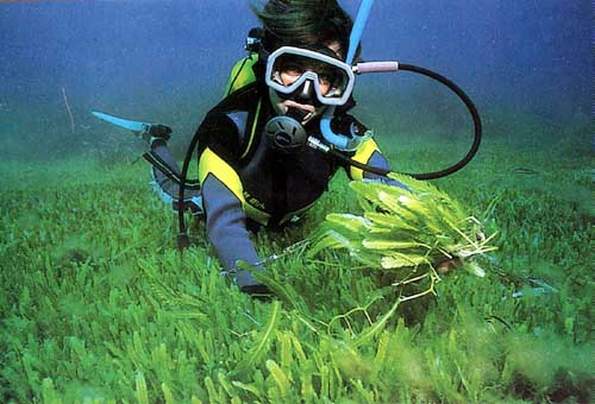 A diver collects samples of the lethal Caulerpa taxifolia plant from the Mediterranean seafloor off Cap Martin, France. Photo by Alexandre Meinesz, special to the Chronicle