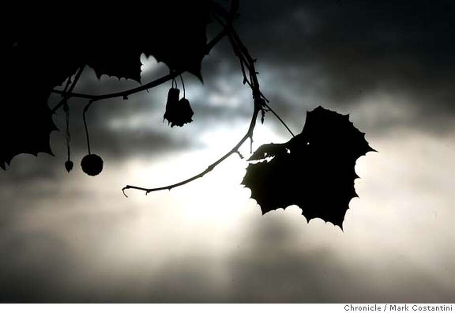 In a sign of the chhnging seasons, last leaves cling to a a maple tree in Berkeley.  Feature picture for East Bay page of Bay Area Section. 10/22/04 in Berkeley  S.F. Chronicle photo by Mark Costantini. Photo: Mark Costantini