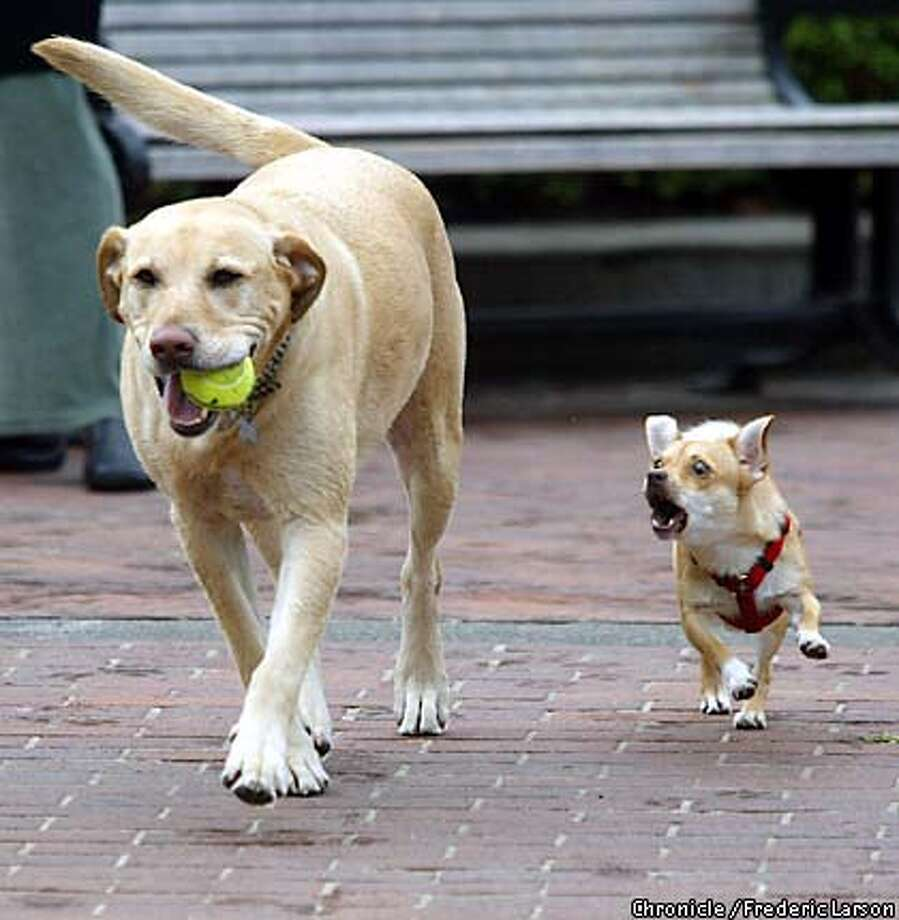 "DOG-C-13JAN03-MT-FRL: ""Sophia"" (right) the under dog seem to be a little upset at (smiling) ""Scooter"" the golden retriever because of his advantage in getting the prized tennis ball during their walk at Huntington Park, Nob Hill, San Francisco. Chronicle photo by Frederic Larson Photo: FREDERIC LARSON"